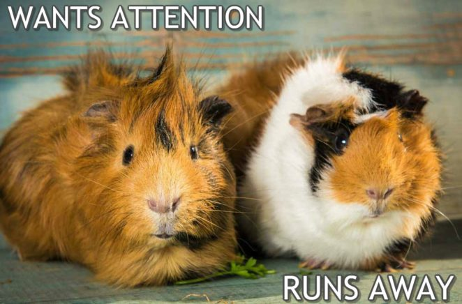 Wants Attention But Guinea Pig Meme 1 Virily