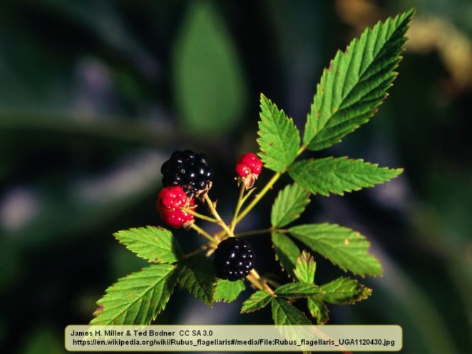 Introduction to Another Rubus Species: Northern Dewberry ...