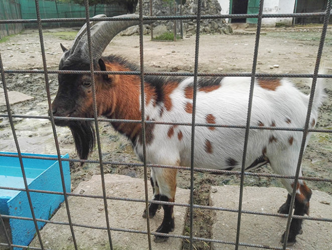 Saturday Critters - Cute goat at Zoo - Virily