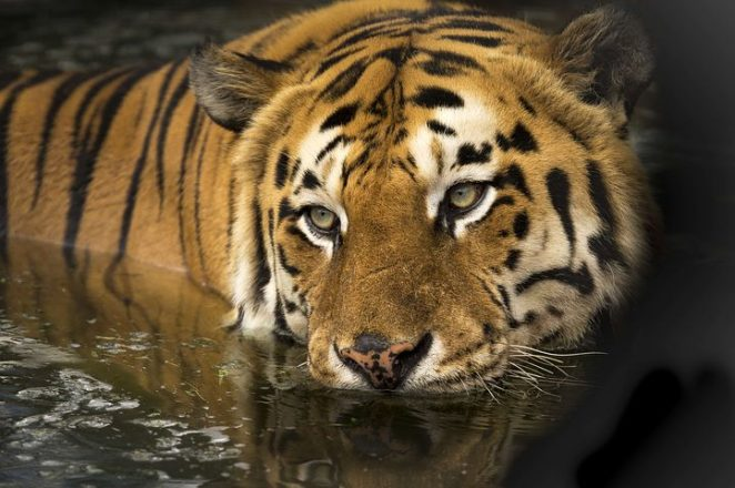 No Tigers Roaming Around Here - Virily